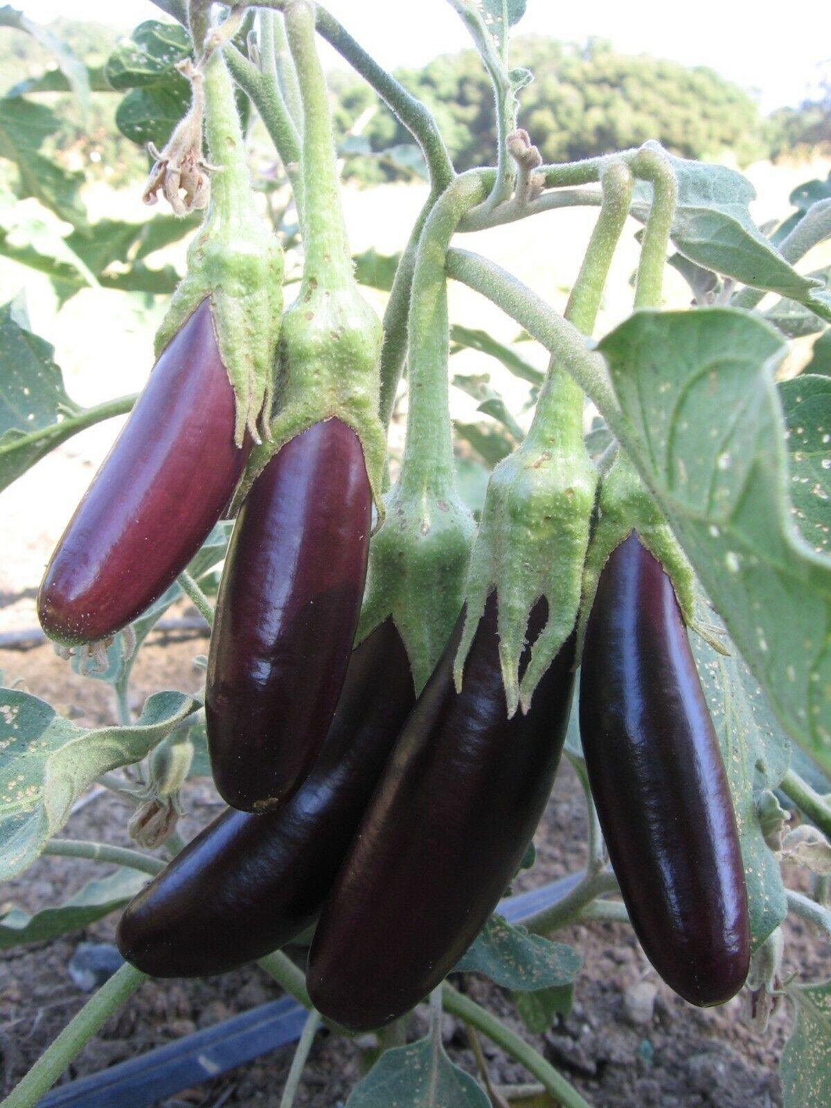 EGGPLANT Baby Fingers F1 10 Seeds vegetable garden SPRING SUMMER aubergine EASY