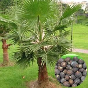 Am-BL-10Pcs-Palmae-Tree-Seeds-Tropical-Ornamental-Plant-Outdoor-Yard-Garden-La
