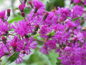 250 PURPLE IRONWEED Vernonia Fasciculata Flower Seeds