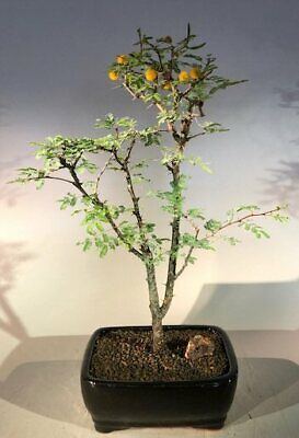 Flowering Dwarf Sweet Acacia Bonsai Tree Acacia Farnesiana Ebay
