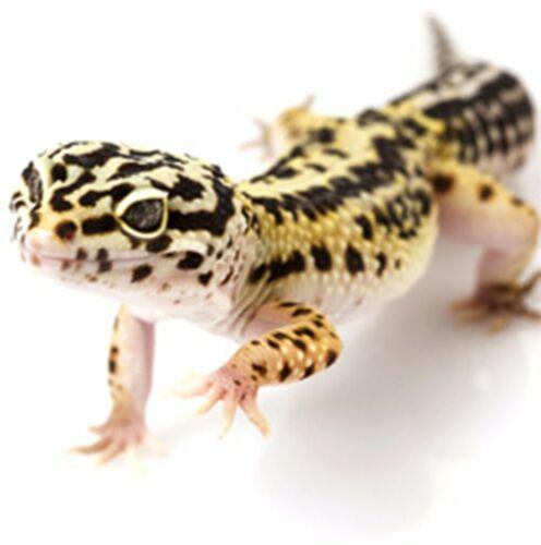 Details about  /Gecko Yellow Stylo Pen Silver /& Stunning  Hard Resin B Nib Waterman Cartridges