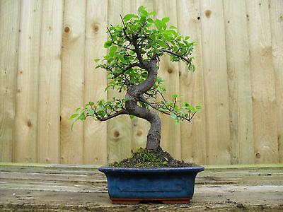 Bonsai Tree Chinese Elm Indoor / Outdoor