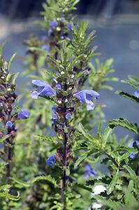 Aus-den-Blueten-des-DRACHENKOPF-wird-ein-krampfloesender-Tee-gebraut-Samen