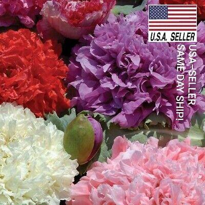 500+ DOUBLE PURPLE Beautiful flowers USA/_SAME/_DAY/_SHIP! POPPY SEEDS