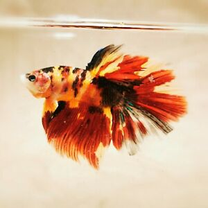 Live Betta Fish - Male - Koi Nemo Galaxy HalfMoon Betta(ANOV115)