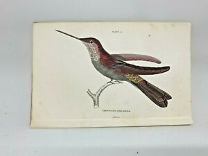 1st-Ed-Hand-colored-Jardine-039-s-Natural-History-1834-Coeligena-Hummingbird-4