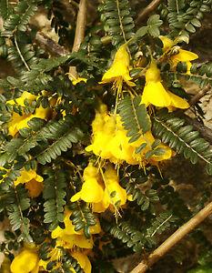 rare-flowering-shrub-Kowhai-SOPHORA-TETRAPTERA-small-tree-yellow-hardy-to-10C
