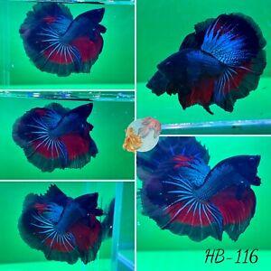 (HB-116) Blue Fire Halfmoon-Live Halfmoon Betta Fish High Quality