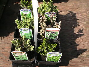 DWARF-HEBE-COLLECTION-6-plants