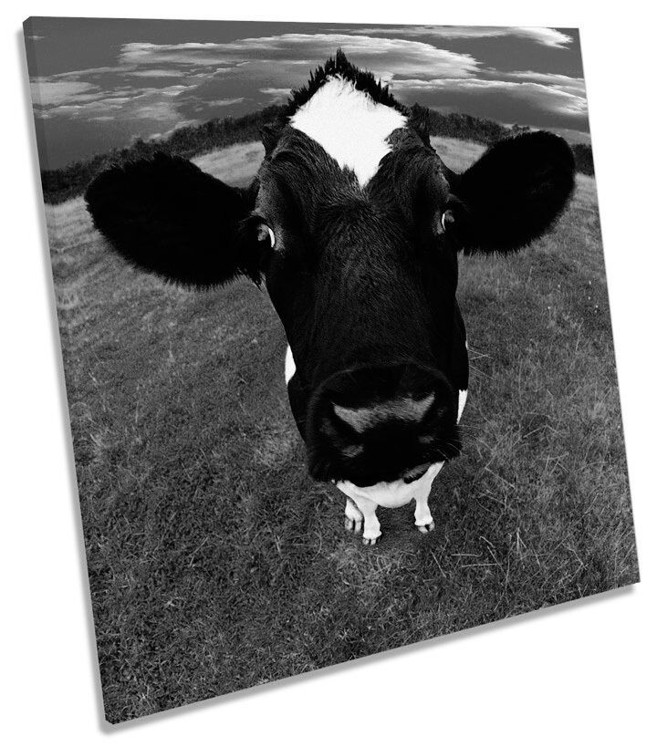 Cow Face Farm Funky B&W SQUARE CANVAS WALL ART Boxed Framed