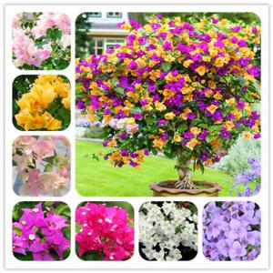 Bougainvillea-Bonsai-spectabilis-Willd-vivace-Fleurs-de-Jardin-100-Pcs-Graines-x