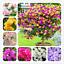 Bougainvillea-Bonsai-spectabilis-Willd-vivace-Fleurs-de-Jardin-100-Pcs-Graines-x miniature 1