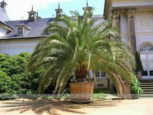 Image Is Loading 10 Seeds Phoenix Canariensis Hardy Canary Islands Date