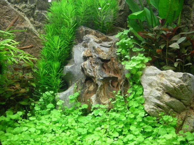 2 belles portions d Hydrocotyle tripartita  plante aquarium  nano bac crevette
