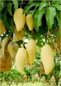 Nam-Doc-Mai-Grafted-Mango-Tree-Thai-Favorite-Mango