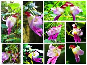 25 semi bellissima orchidea pappagalli pappagallini parrot for Semi orchidea