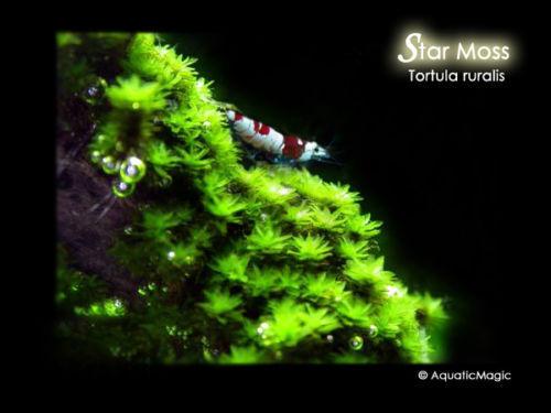 for live fern flowerhorn cichlid aquarium B4 Star Moss