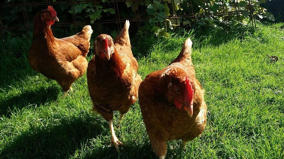 Høns, 32 stk.