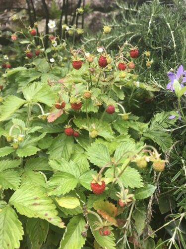 5 x Wild Alpine Strawberry bare root plants