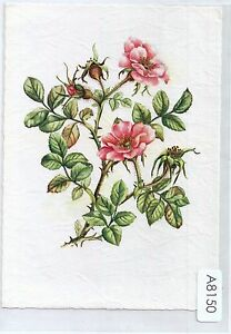 A8150pac-flowers-Apfelrose-Lully-Textured-postcard