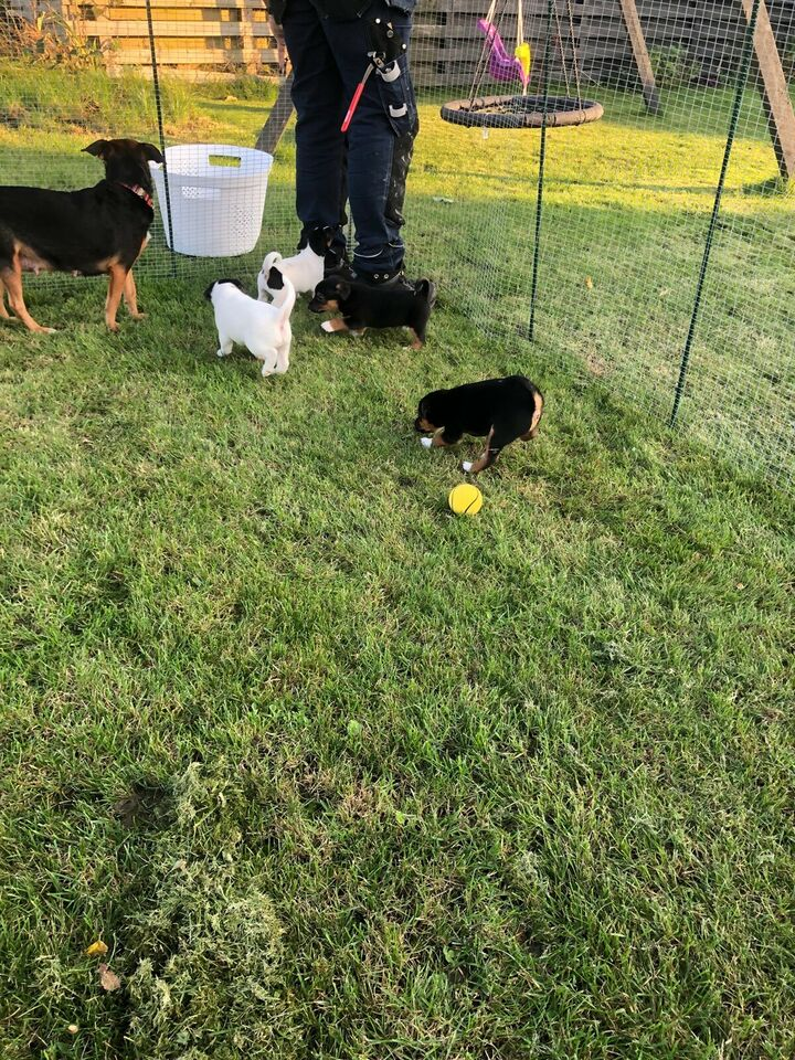 Jack russel terrier, hvalpe, 3 uger
