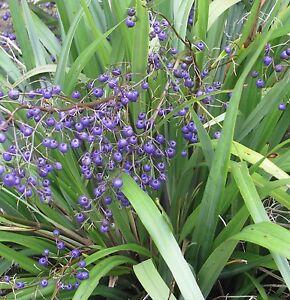 EMPEROR-039-S-PEARL-Dianella-tasmanica-native-blue-green-strappy-plant-in-140mm-pot
