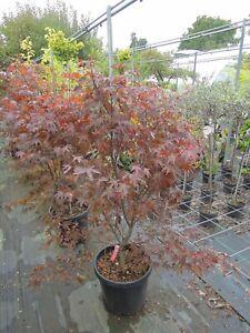 Acer-palmatum-Fireglow-150cm-Solitaer-roter-Faecherahorn-Samtahorn