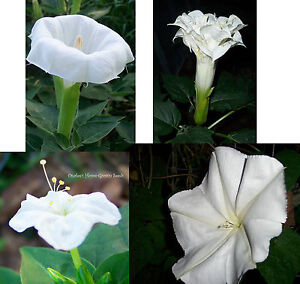 Night garden 2 fragrant white flowers 4 seed packsprice 3 datura image is loading night garden 2 fragrant white flowers 4 seed mightylinksfo