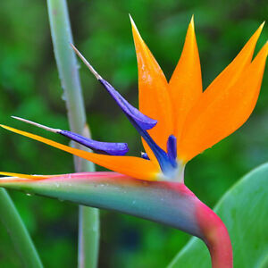 10pcs Strelitzia Reginae Flower Seeds Tropical Bird Paradise Mallow