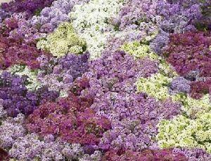 100-Alyssum-Seeds-Cheers-Pastel-Mix-Ground-Cover