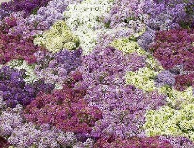 100 Seeds Alyssum Cheers Pastel Mix Ground Cover