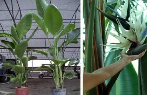 Schönste tropische Zimmerpflanze Samen .... Weisse Riesen-Paradiesvogel-Blume