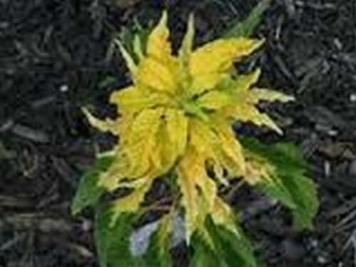 Amaranthus Yellow 100 Seeds BOGO 50/% off SALE