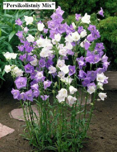 mélanger. Graines de FLEURS Bell rose bleu Grand Choix de graines. blanc Campanula L.