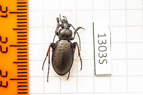 Carabus odoratus melleus Carabidae !PRICE FOR EACH!