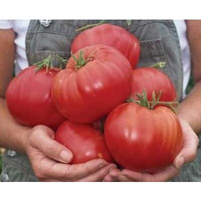 BEEFSTEAK TOMATO 30 SEEDS (VEGETABLE SEEDS)