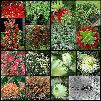 8 Mixed Bottlebrush Callistemon Shrubs Trees Native Plants Bottle Brush Flowers Ebay