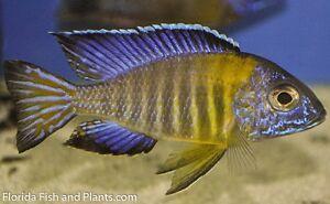 "MALE Aulonocara stuartgranti ""Undu Reef"" (blue neon) ( African Cichlid 1.5 inch"