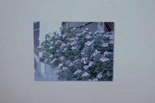 La 100 Graines Catharanthus Roseus #223