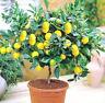 10PCs Rare Lemon Tree Indoor Outdoor Garden Available Heirloom Fruit Seeds 10PCs