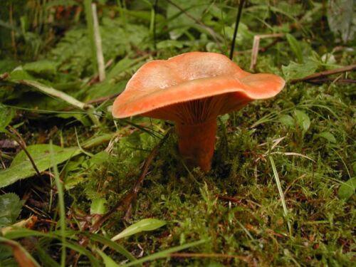 LIVE 100g Mycelium Seed Spores Grow Lactarius deliciosus orange agaric MUSHROOM