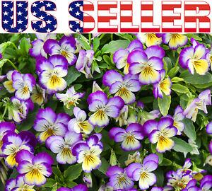 100 Viola Johnny Jump Up Flower Seeds Perennial Purple Blooms