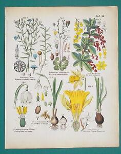 FLOWERS-Botany-Barberrry-Daffodil-Snowflake-Flax-Sundews-1845-H-C-COLOR-Print