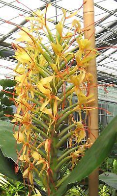 i Schmetterlings-Ingwer !i Freuen Sie sich auf eine farbenfrohen Zimmerpflanze.