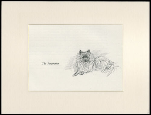 CUTE LITTLE POMERANIAN CHARMING OLD 1930/'S DOG SKETCH PRINT by KF BARKER MOUNTED