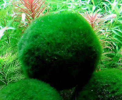 cladophora  6 assorties  moosball mix mousse anti nitrates crevettes