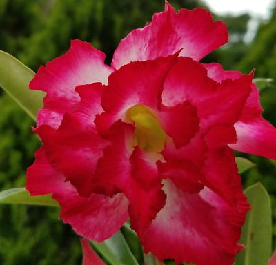 10 pcs Desert Rose Flower Adenium obesum Seeds triple red # P AMERICAN SELLER