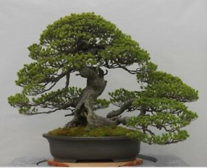 RARE-Japanese-Black-Pine-Bonsai-Tree-Seeds-Bonsai-Pine-Tree-Seeds-UK-Stock