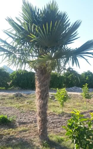 Hanfpalme Trachycarpus Fortunei max 500 cm aus Spanien Winterhart