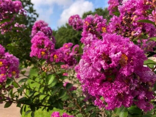 10 Hot Pink Fuschia Crape Crepe Myrtle Fast Growing Tree Cuttings to Root...